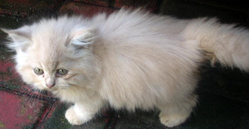 Kucing Persia May 2013